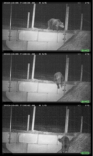 Remote camera image of a bear using a jump-out to exit the fenced area of Highway 93 South