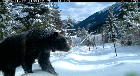 Remote camera captures a grizzly bear using one of several crossing structures in Banff National Park
