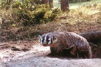 Badger at entrance to burrow