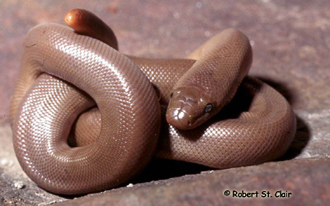 A coiled up rubber boa shows its blunt, rounded tail.
