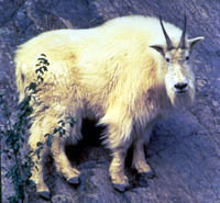 A close up view of a shaggy, cream-coloured mountain goat looking directly toward the camera.
