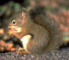 Red squirrels rely on the rich seeds found in cones.