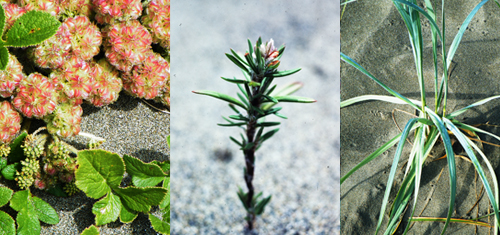 (left to right) Beach-carrot, Black knotweed, Dune wildrye