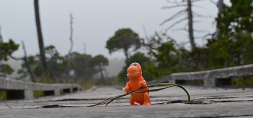 a toy dinosaur on the shorepine bog trail boardwalk