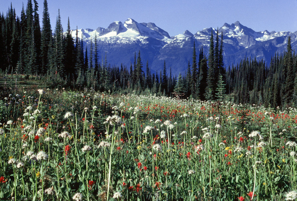 Wildflower meadow at Mount Revelstoke