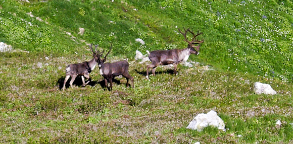 Mountain woodland caribou