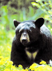 Close-up image of a black bear
