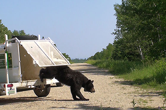 Bear Relocation Operation