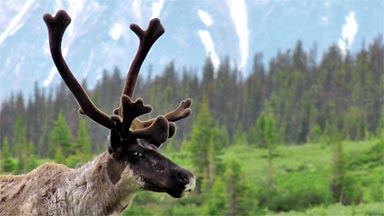 Woodland caribou numbers are declining across Canada. Five key threats have been identified for populations found in the mountain national parks of Banff, Glacier, Jasper and Mount Revelstoke. Parks Canada is working hard to reduce these threats and keep woodland caribou on the mountain landscapes. If you want to learn more about caribou conservation in the mountain national parks go to featured species at: http://www.pc.gc.ca/speciesatrisk.