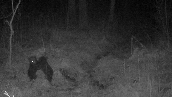 Bear Cubs Wrestling in RMNP - Bear cubs wrestling: More adorable bear cubs! This time, a remote camera has caught bear cubs wrestling. Play is a very important part of a young mammal's life. Playing not only strengthens the young animal, it also allows practice of skills that the cubs will need when they are adults. Thus, when it comes time for mother bears to protect their young against adult male bears, or for males to determine dominance, wrestling teaches life and death skills that will be used later in life.