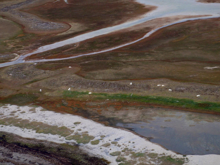 Nine adult male bears (can you spot them?) at a traditional summer congregating site in Wapusk NP
