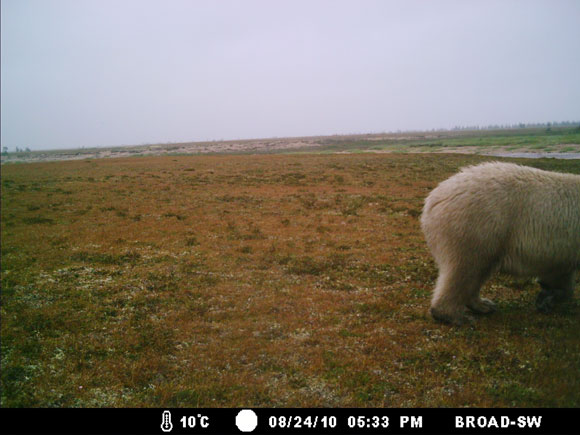 Between July 2nd and August 24th 2010, polar bears were caught on camera eight times (single bears six times and two bears twice).