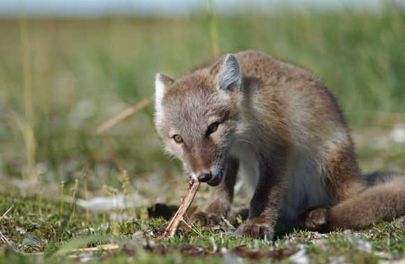 Arctic fox pup chewing goose leg bone