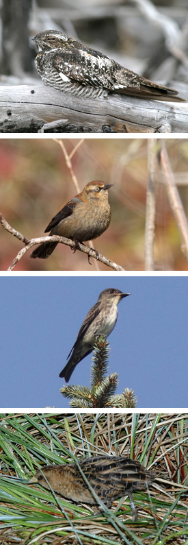 Common Nighthawk, Rusty Blackbird, Olive-sided Flycatcher, Yellow Rail