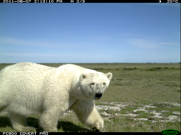 Motion-activated Reconyx camera image captured August 7th, 2011, 2:13 pm at Broad River Camp in Wapusk NP