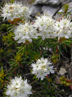 Dwarf Labrador Tea in flower