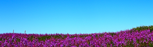 A spectacular panorama carpet of fireweed