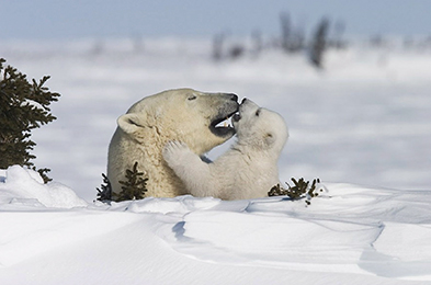 Polar bear and cub © T. Milse
