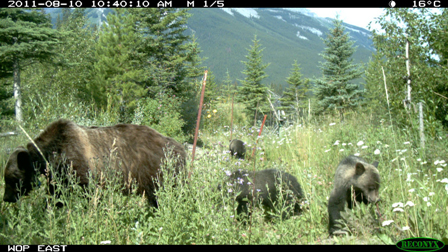Grizzly bear #64 and her offspring using a wildlife overpass
