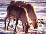 Caribou can smell lichens through the snow, and dig shallow craters to reach their food. (GMNP)