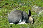 Arctic Hare on Gros Morne mountain, GMNP