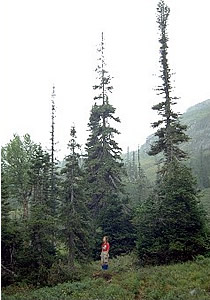 Forest of alpine Balsam Fir in Long Range Mountains, GMNP