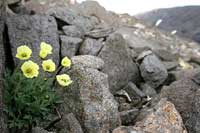 Arctic poppy in bloom