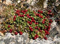 Mountain Cranberry (Redberry)