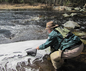 Volunteer netting trout for monitoring