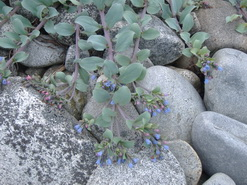Sea-lungwort