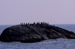 Cormorants perched on boulders