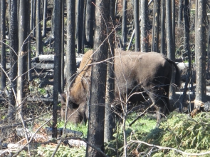 Bison in post fire new growth