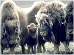 A group a muskox brace themselves against cold arctic winds.