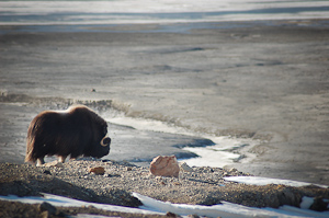 Muskoxen in Quttinirpaaq National Park of Canada
