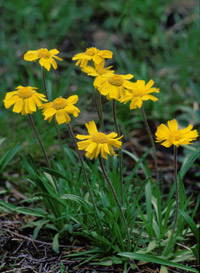 Lakeside Daisy, an endangered plant