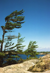 View the landscapes of windswept pines