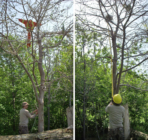 Scarecrow and removing nests in red mulberry tree