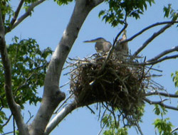 Nesting great blue herons
