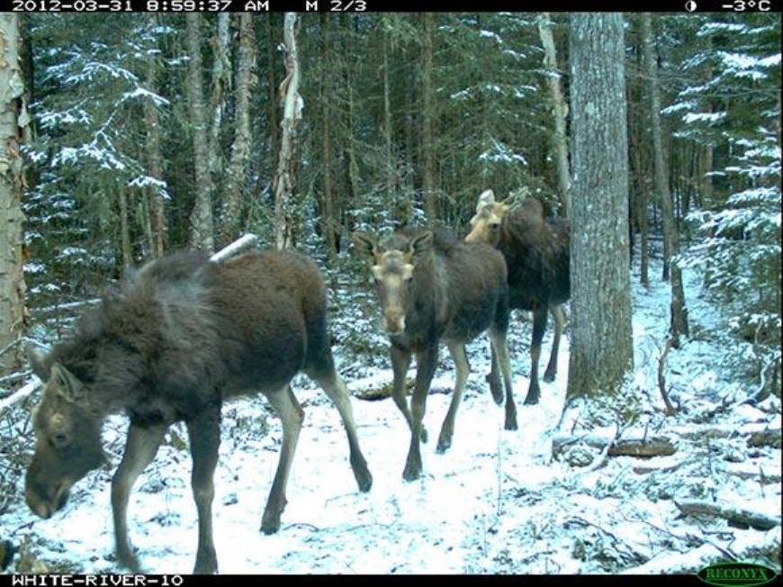 Moose captured on wildlife camera