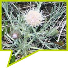 A flowering Pitcher's Thistle