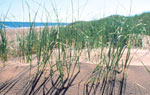 The roots and rhizomes of marram grass form a living net, which helps hold the dune in place