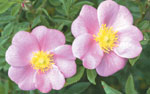Wild rose is one of the first shrubs to take root in more sheltered areas in the dunes