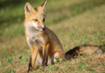 Red foxes make their dens in the sand dunes