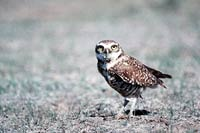 This burrowing owl stands warily on it's long legs, staring at you with it's large, yellow, disc-shaped eyes.