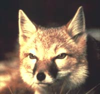 A swift fox mugshot.  This close-up image of the fox's face allows you to admire to pointy ears, black patches on the side of the nose and see the facial resemblance to a cat.