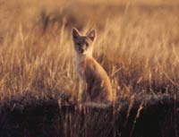 The Swift Fox's distinguishing characteristics are easily viewed:  black nose patch, black-tipped tail, grey highlights on red fur and white patches of fur on the neck and abdomen.