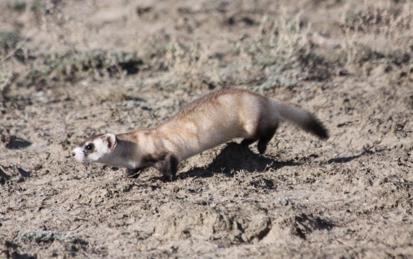 The black-footed ferret is the only native ferret known to North America.