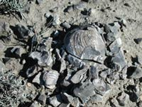 Inoceramus shell fossils from the last intercontinental seaway 70-80 million years ago