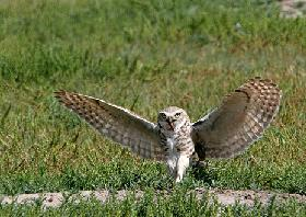 The burrowing owl (endangered) has suffered significant declines across its North American range.