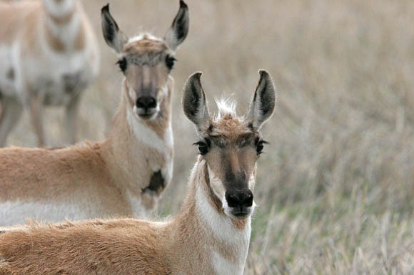 Pronghorn Antelope are the fastest land animal in North America!